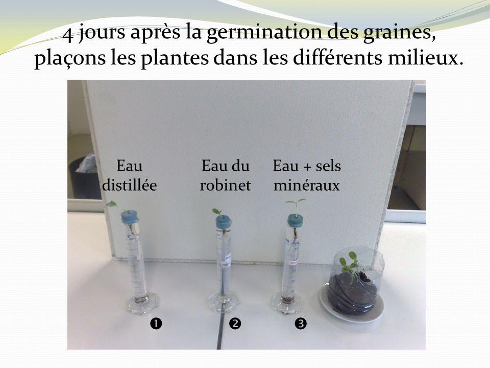 4 jours après la germination des graines, plaçons les plantes dans les différents milieux.