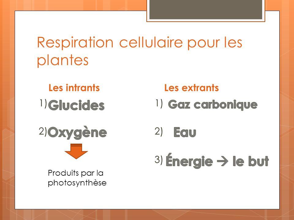 Respiration cellulaire pour les plantes