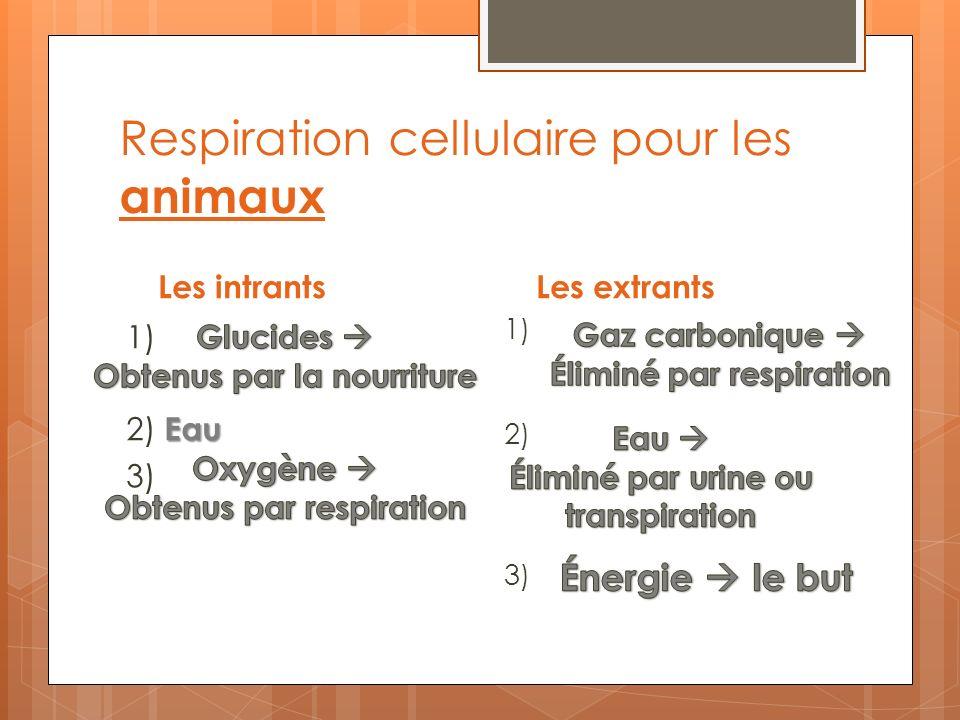 Respiration cellulaire pour les animaux