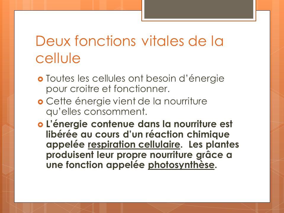 Deux fonctions vitales de la cellule