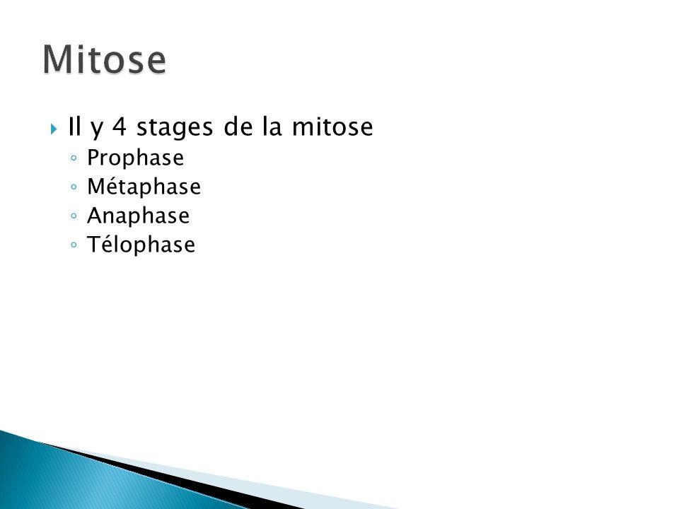 Mitose Il y 4 stages de la mitose Prophase Métaphase Anaphase