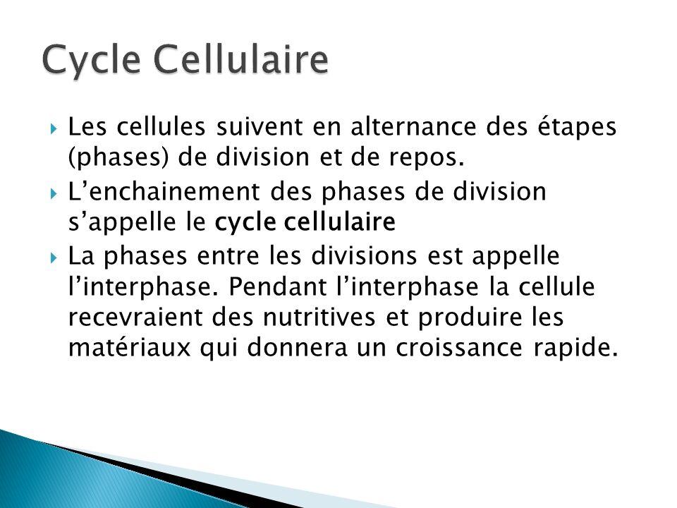 Cycle Cellulaire Les cellules suivent en alternance des étapes (phases) de division et de repos.