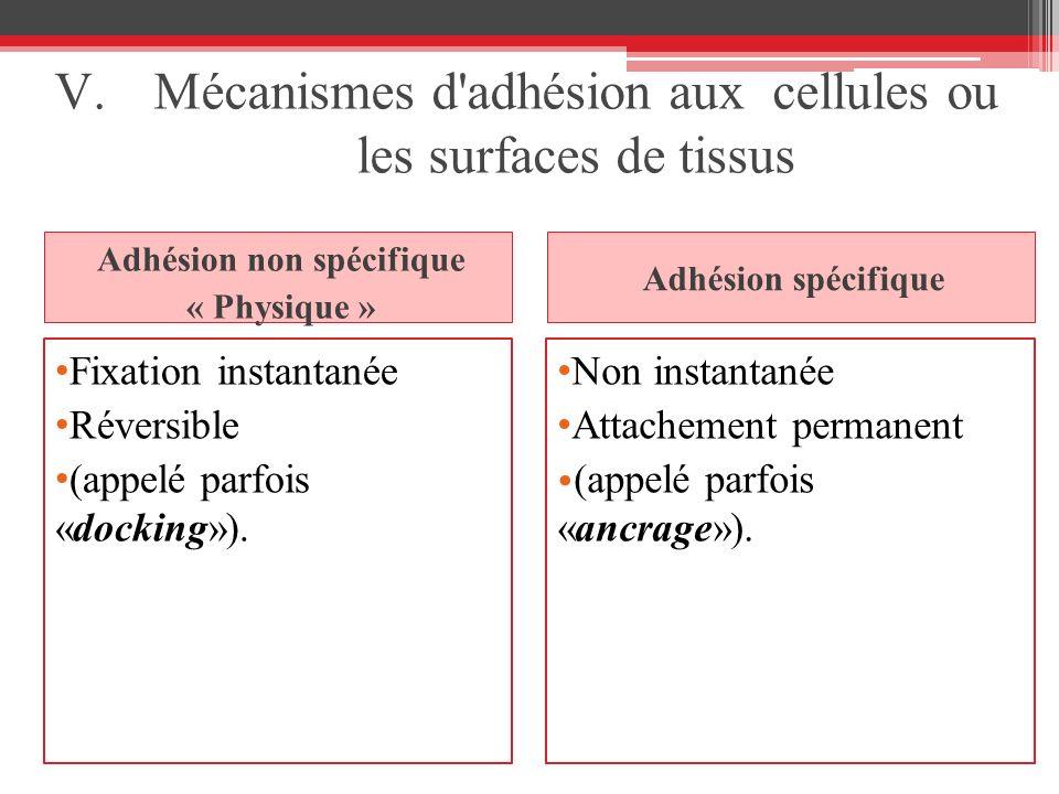 Mécanismes d adhésion aux cellules ou les surfaces de tissus