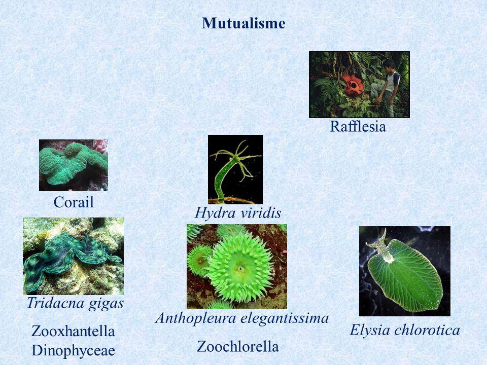 Anthopleura elegantissima