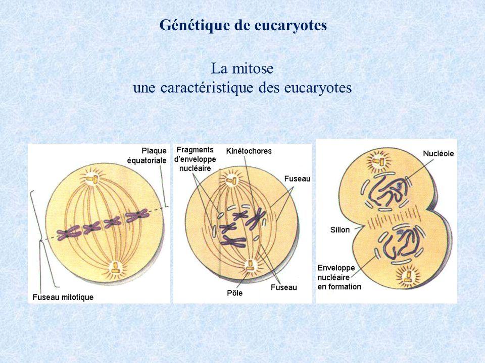 Génétique de eucaryotes