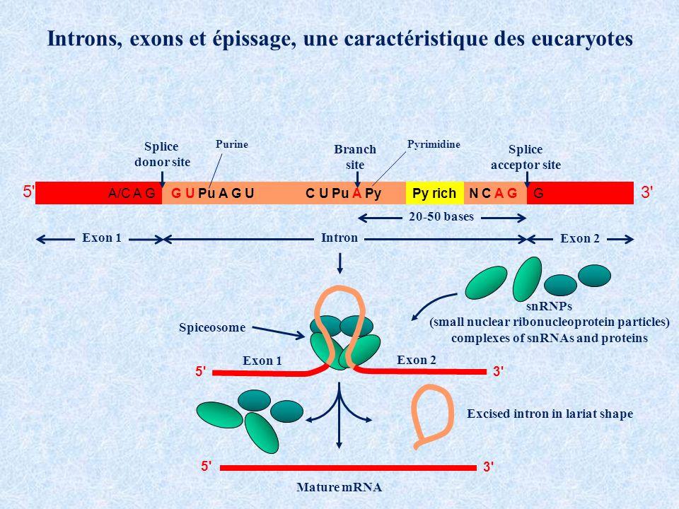 Introns, exons et épissage, une caractéristique des eucaryotes