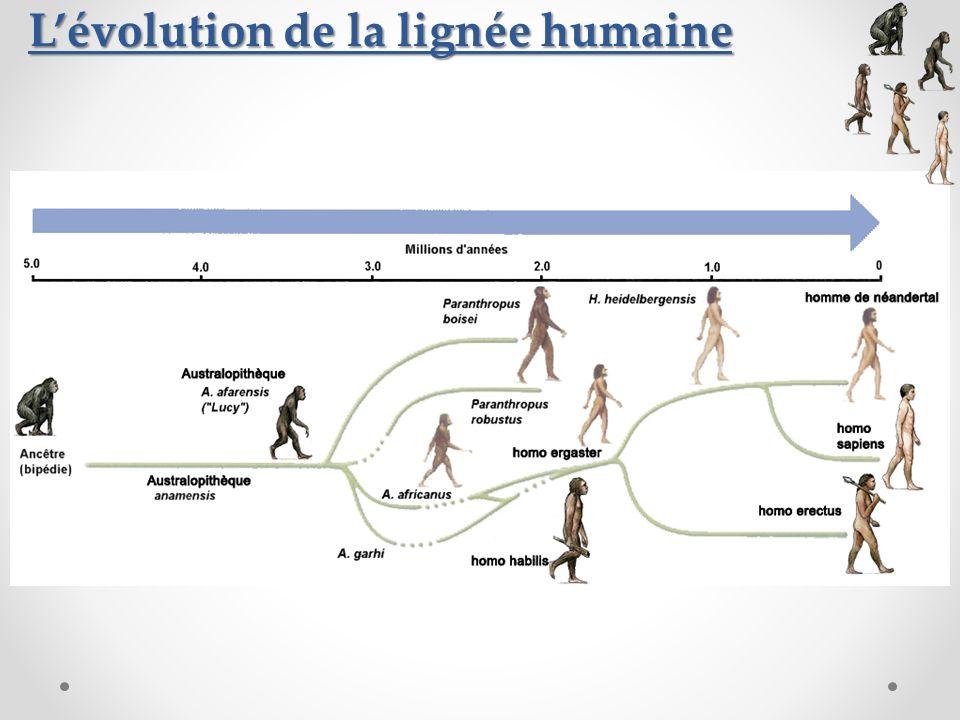 L'évolution de la lignée humaine