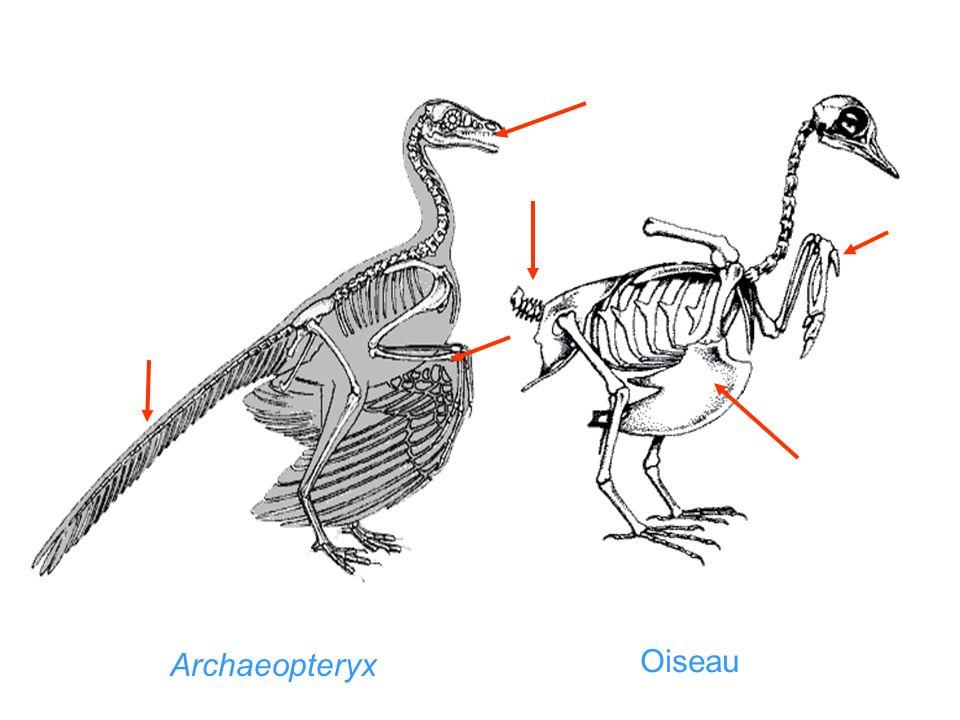 Archaeopteryx Oiseau