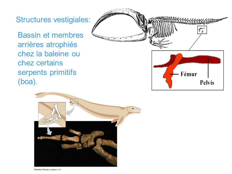 Structures vestigiales: