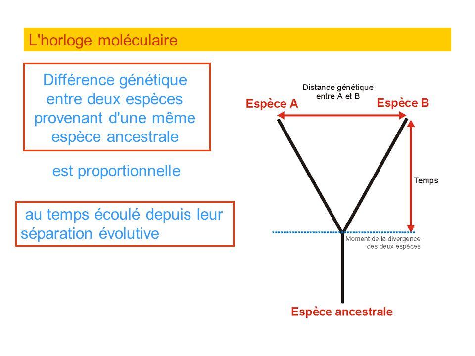 L horloge moléculaireDifférence génétique entre deux espèces provenant d une même espèce ancestrale.
