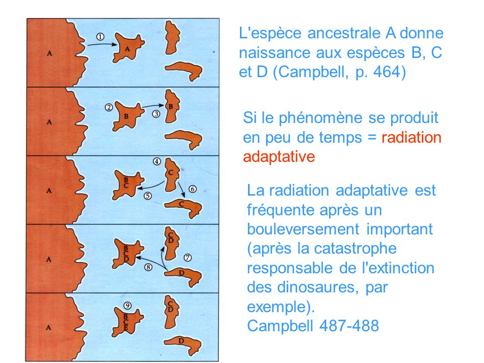 L espèce ancestrale A donne naissance aux espèces B, C et D (Campbell, p. 464)