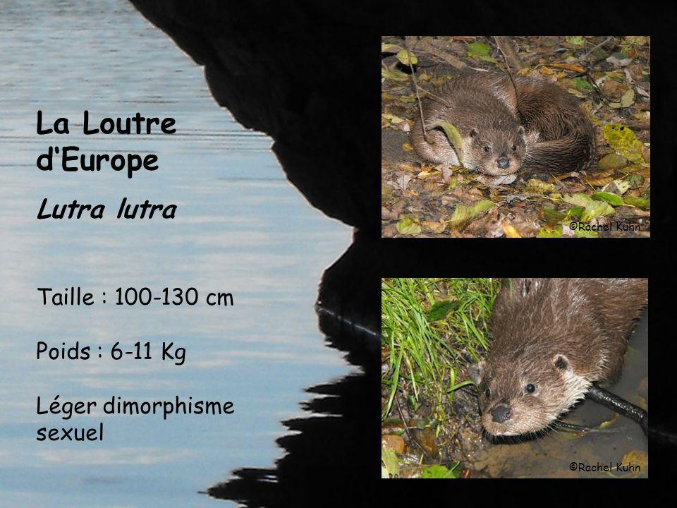 La Loutre d'Europe Lutra lutra Taille : 100-130 cm Poids : 6-11 Kg Léger dimorphisme sexuel