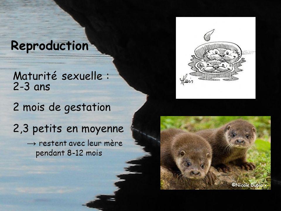 Reproduction Maturité sexuelle : 2-3 ans 2 mois de gestation