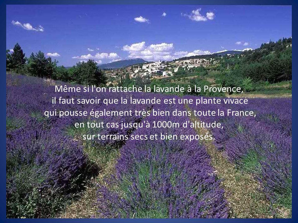 Même si l on rattache la lavande à la Provence,