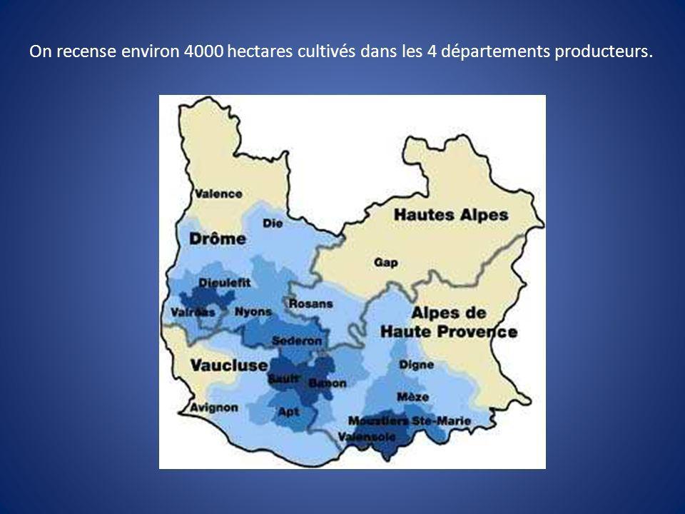 On recense environ 4000 hectares cultivés dans les 4 départements producteurs.