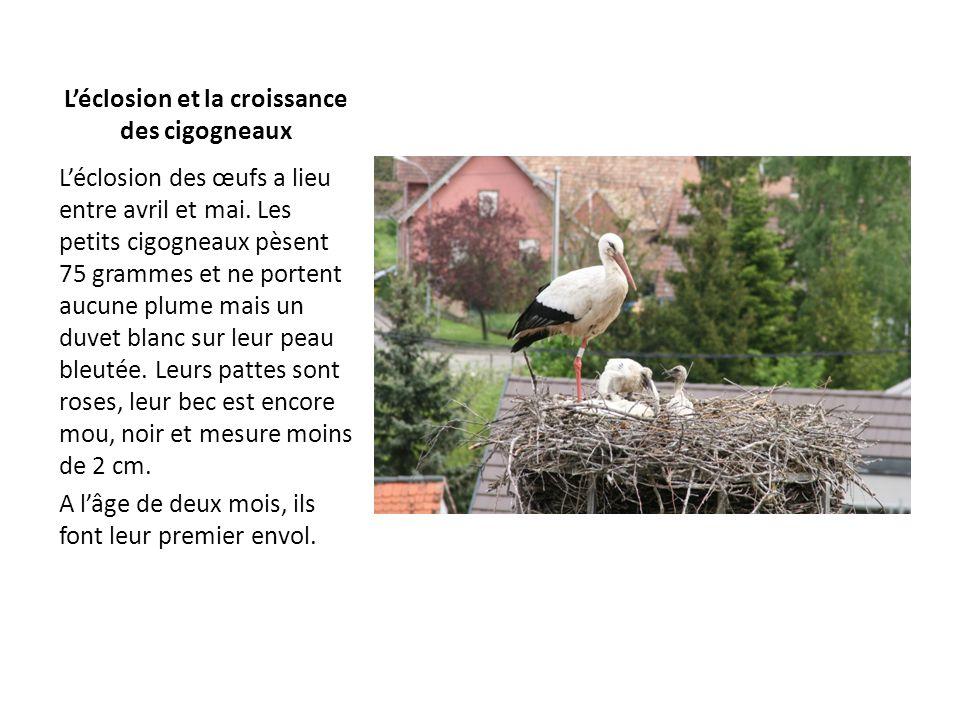 L'éclosion et la croissance des cigogneaux