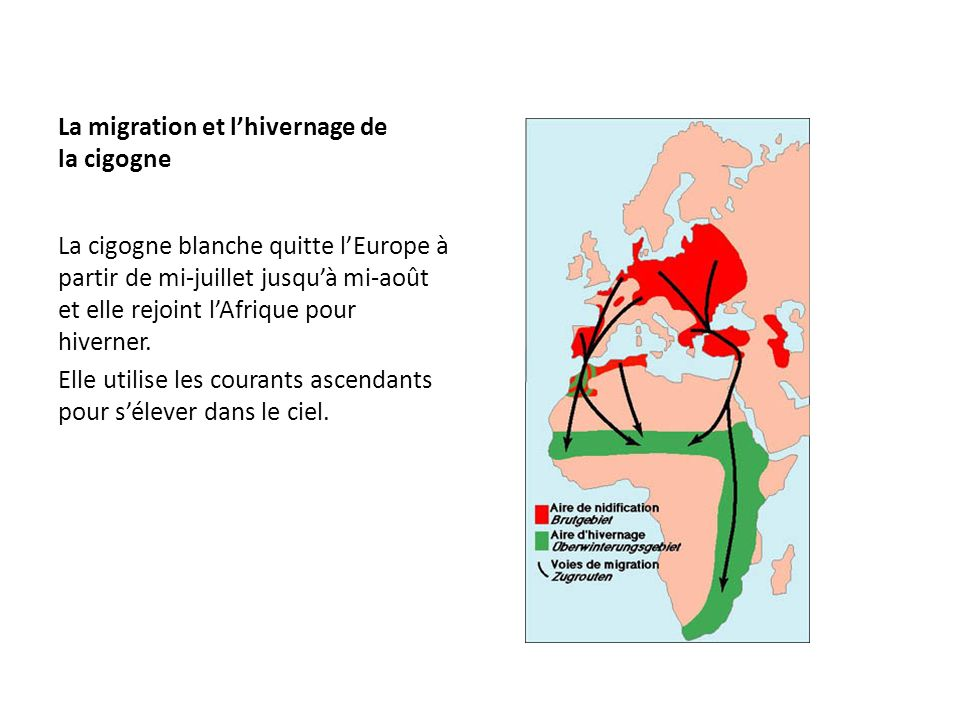 La migration et l'hivernage de la cigogne