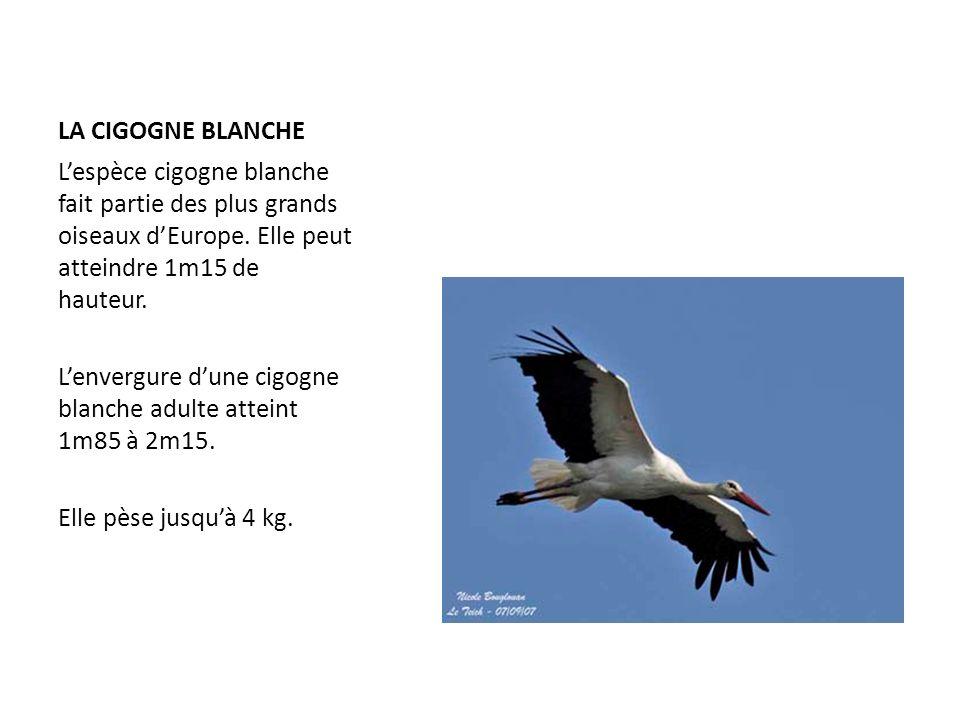 LA CIGOGNE BLANCHE L'espèce cigogne blanche fait partie des plus grands oiseaux d'Europe. Elle peut atteindre 1m15 de hauteur.