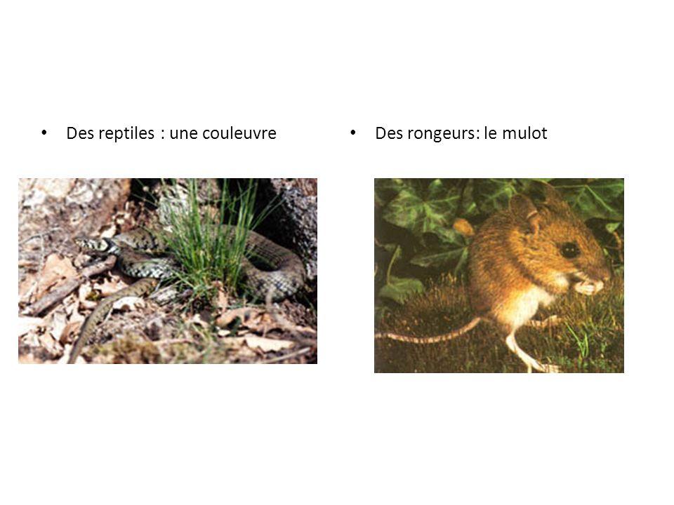 Des reptiles : une couleuvre