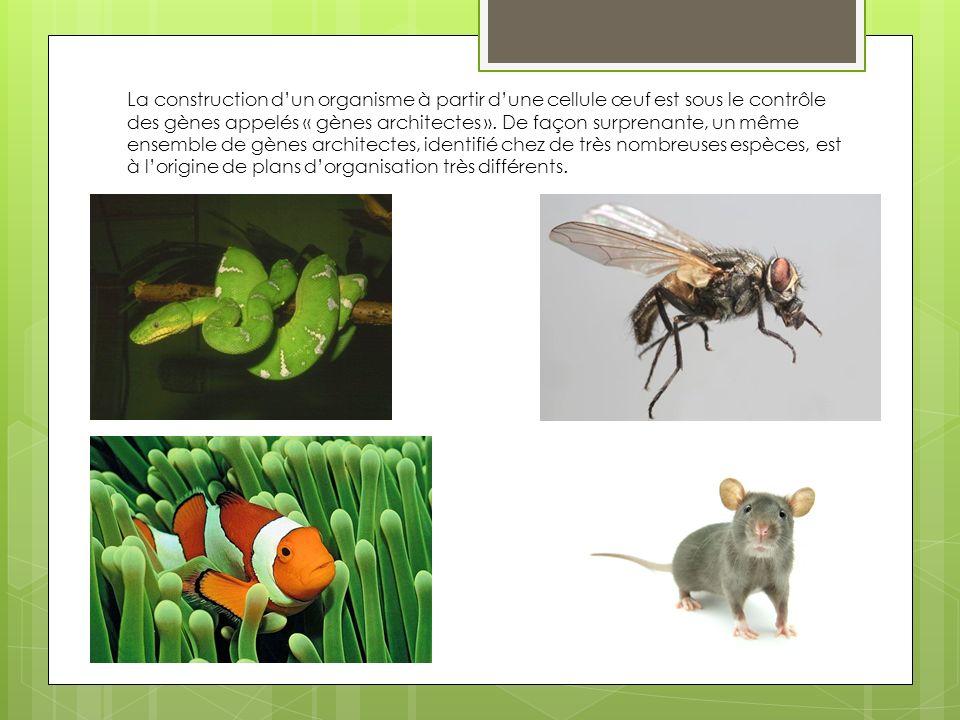 La construction d'un organisme à partir d'une cellule œuf est sous le contrôle des gènes appelés « gènes architectes ».