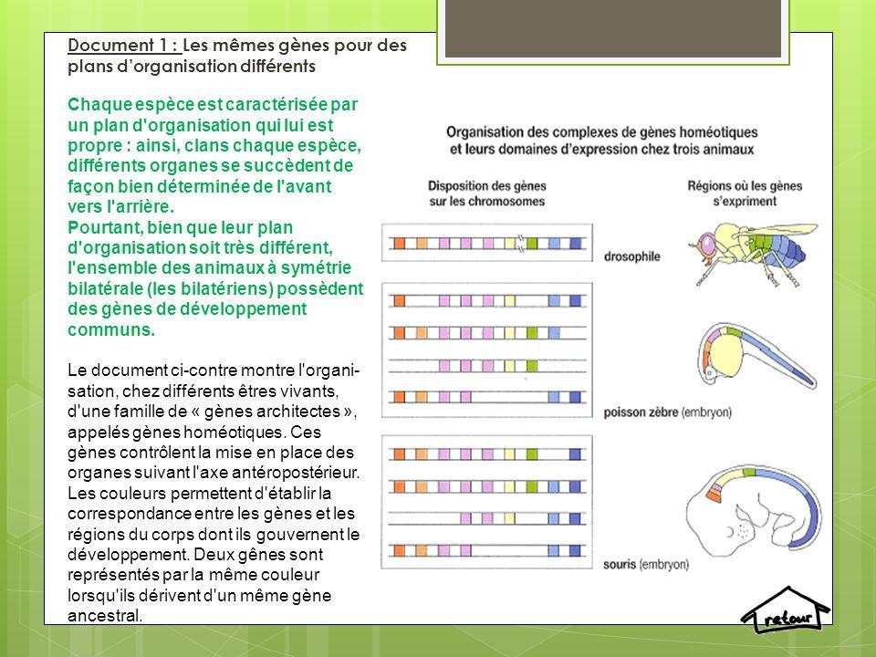Document 1 : Les mêmes gènes pour des plans d'organisation différents