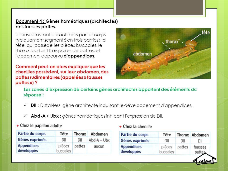 Document 4 : Gènes homéotiques (architectes) des fausses pattes.