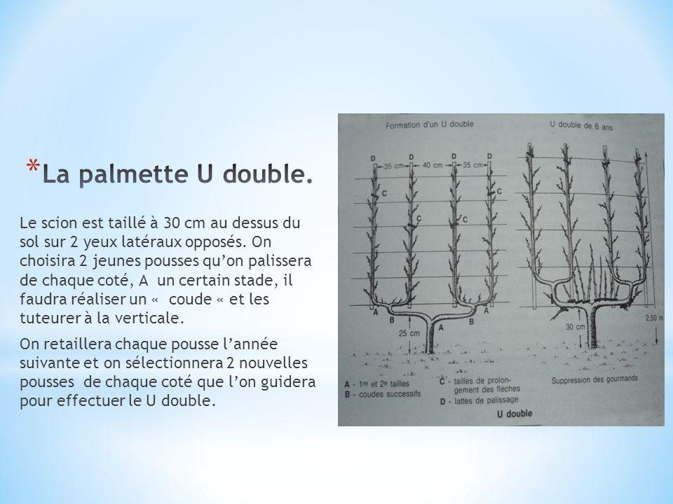 La palmette U double.