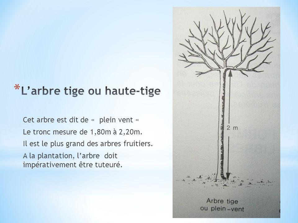 L'arbre tige ou haute-tige