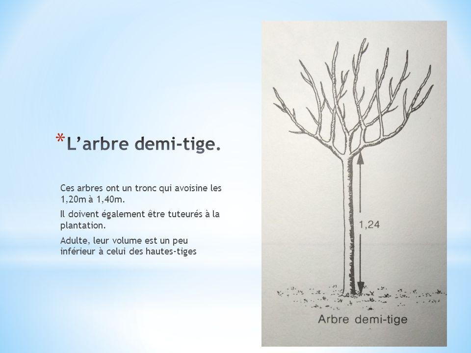 L'arbre demi-tige. Ces arbres ont un tronc qui avoisine les 1,20m à 1,40m. Il doivent également être tuteurés à la plantation.