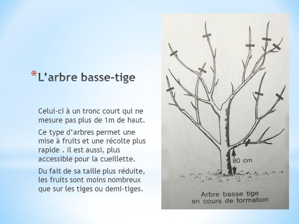 L'arbre basse-tige Celui-ci à un tronc court qui ne mesure pas plus de 1m de haut.