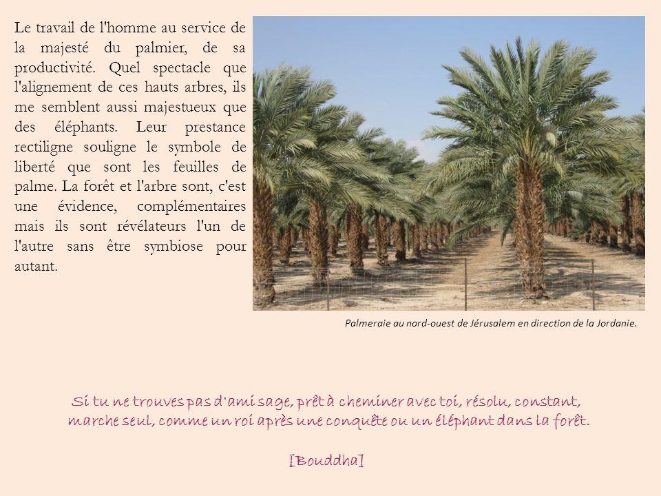 Le travail de l homme au service de la majesté du palmier, de sa productivité. Quel spectacle que l alignement de ces hauts arbres, ils me semblent aussi majestueux que des éléphants. Leur prestance rectiligne souligne le symbole de liberté que sont les feuilles de palme. La forêt et l arbre sont, c est une évidence, complémentaires mais ils sont révélateurs l un de l autre sans être symbiose pour autant.