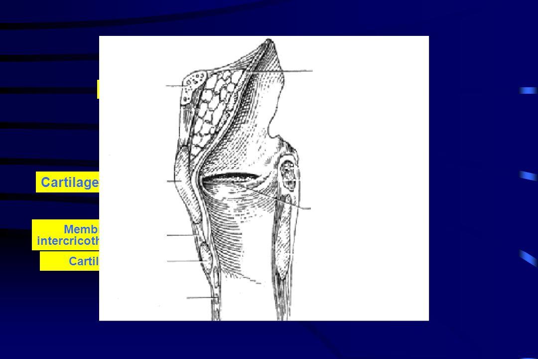 Cartilage thyroïde Épiglotte Os hyoïde Cordes vocales