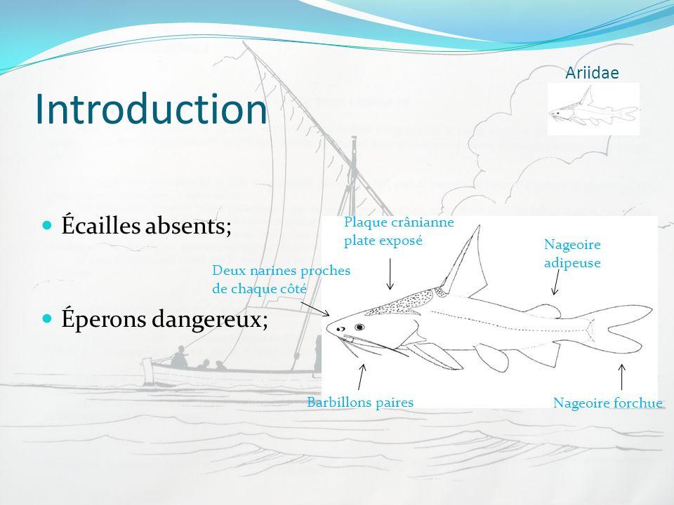 Introduction Écailles absents; Éperons dangereux; Ariidae