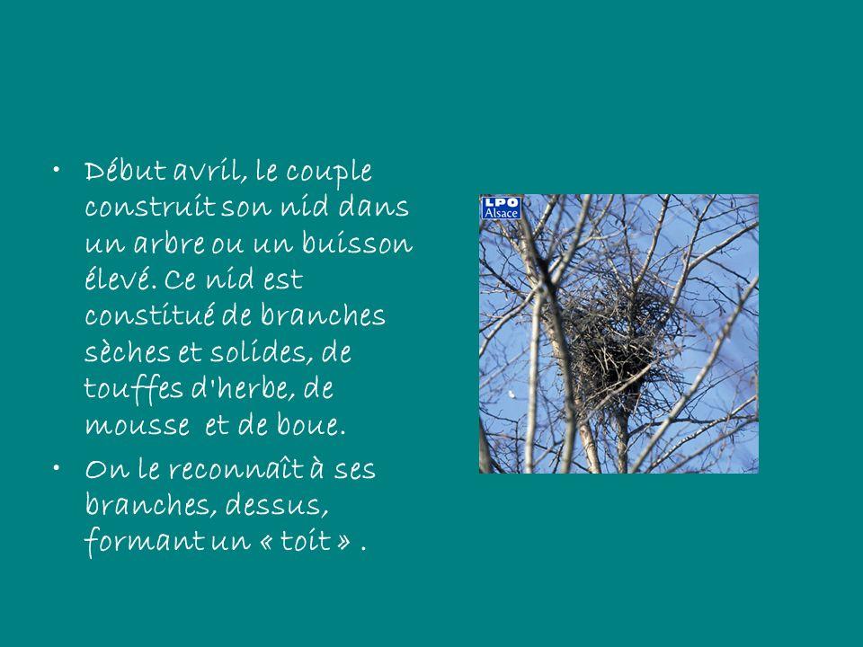 Début avril, le couple construit son nid dans un arbre ou un buisson élevé. Ce nid est constitué de branches sèches et solides, de touffes d herbe, de mousse et de boue.