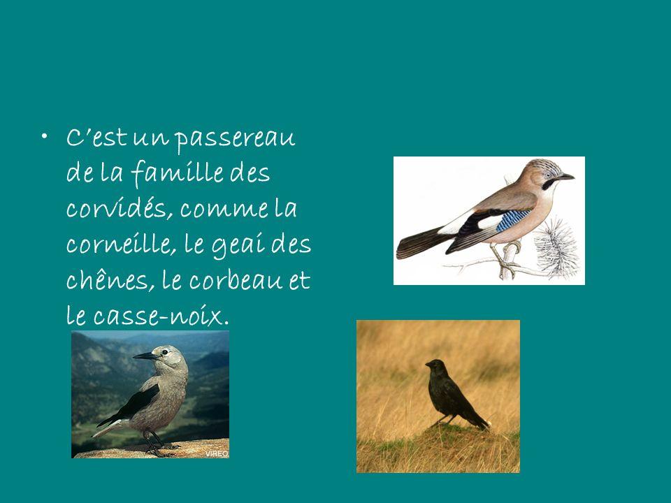 C'est un passereau de la famille des corvidés, comme la corneille, le geai des chênes, le corbeau et le casse-noix.