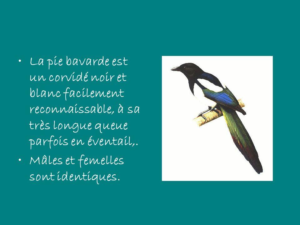 La pie bavarde est un corvidé noir et blanc facilement reconnaissable, à sa très longue queue parfois en éventail,.