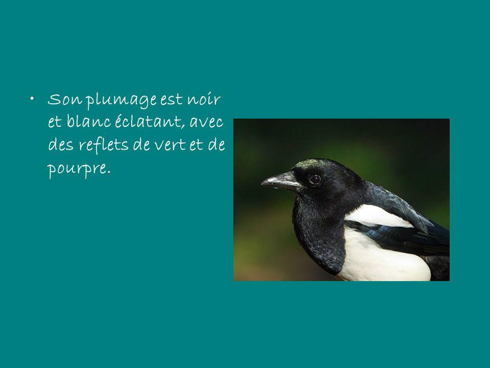 Son plumage est noir et blanc éclatant, avec des reflets de vert et de pourpre.