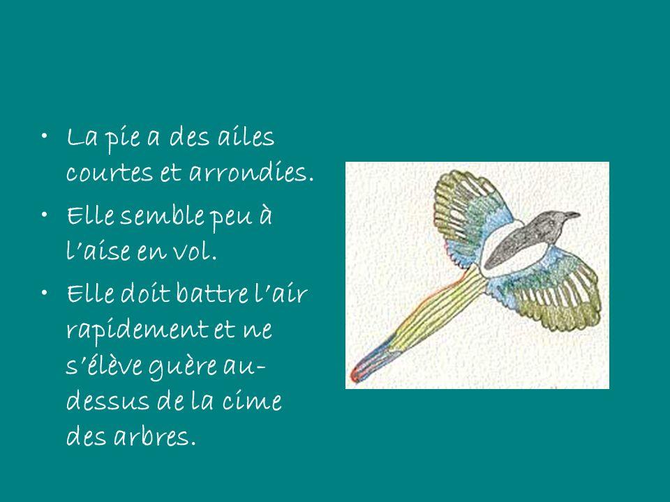 La pie a des ailes courtes et arrondies.