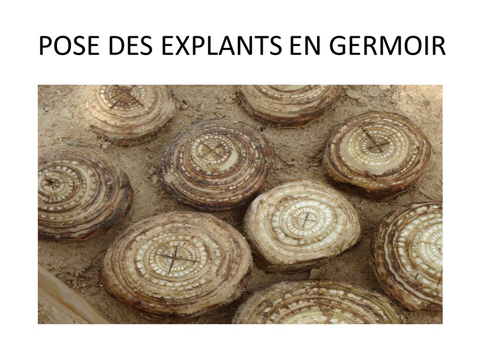 POSE DES EXPLANTS EN GERMOIR
