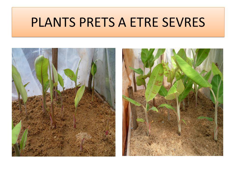 PLANTS PRETS A ETRE SEVRES