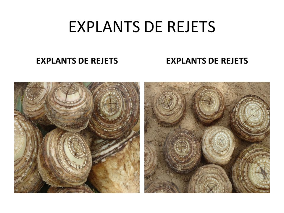 EXPLANTS DE REJETS EXPLANTS DE REJETS EXPLANTS DE REJETS