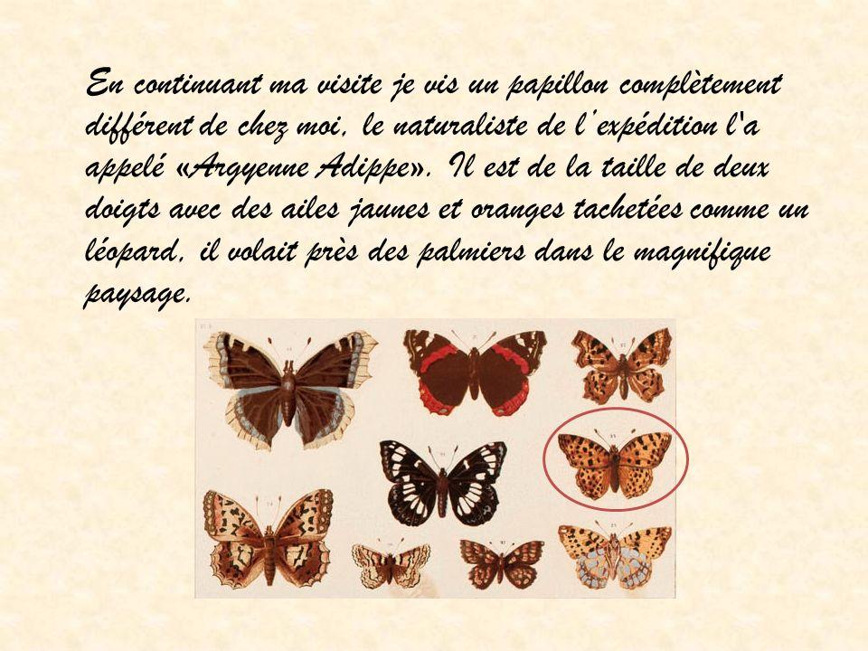 En continuant ma visite je vis un papillon complètement différent de chez moi, le naturaliste de l'expédition l a appelé «Argyenne Adippe».