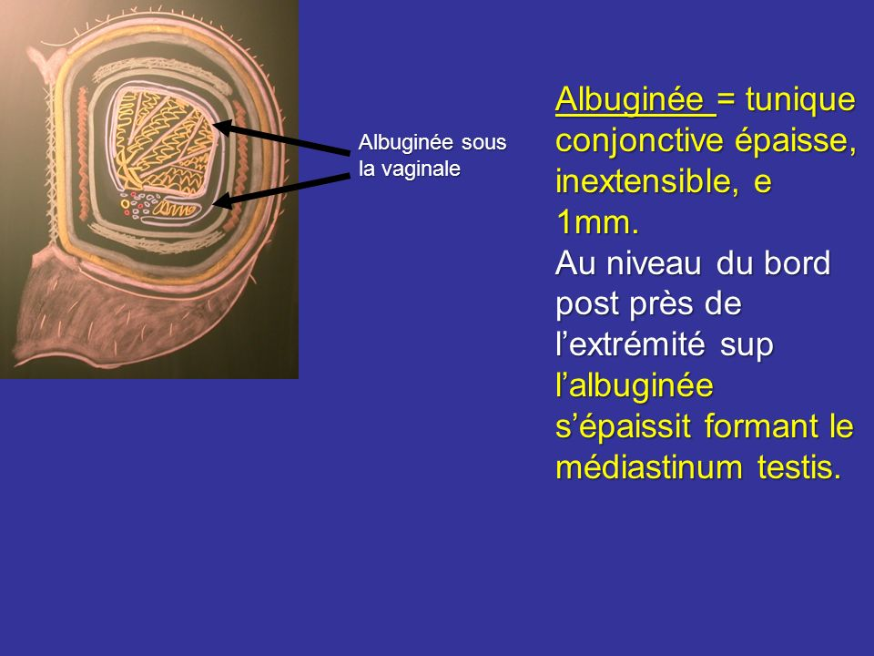 Albuginée = tunique conjonctive épaisse, inextensible, e 1mm.