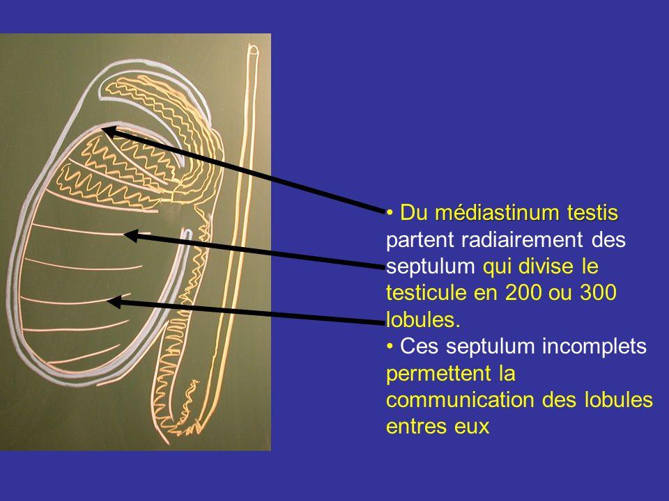 Du médiastinum testis partent radiairement des septulum qui divise le testicule en 200 ou 300 lobules.