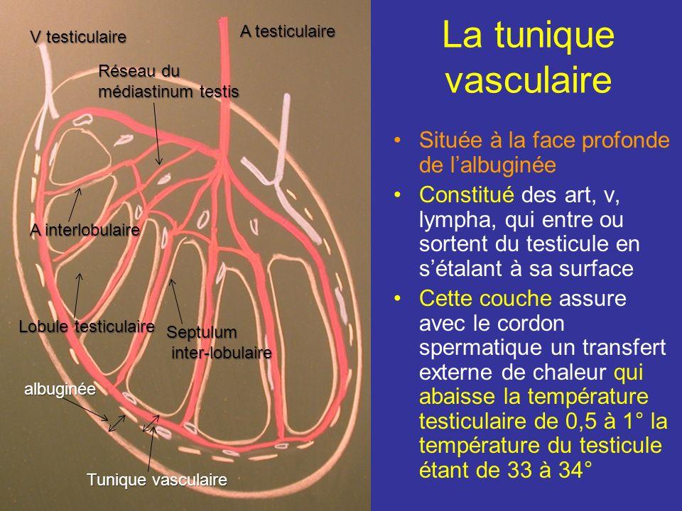 La tunique vasculaire Située à la face profonde de l'albuginée