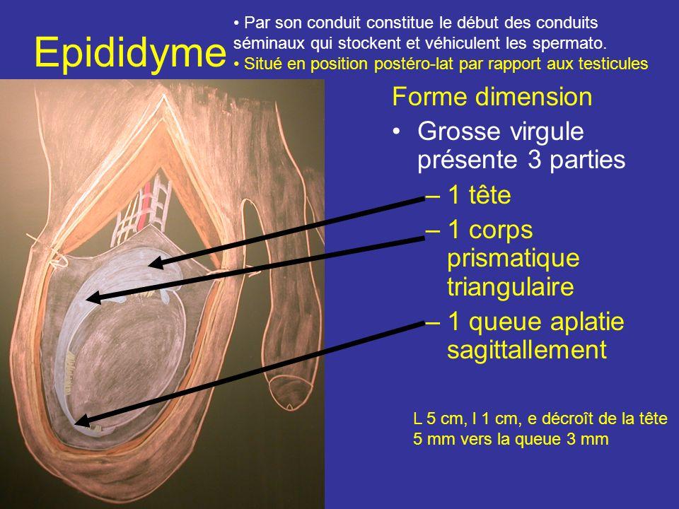 Epididyme Forme dimension Grosse virgule présente 3 parties 1 tête