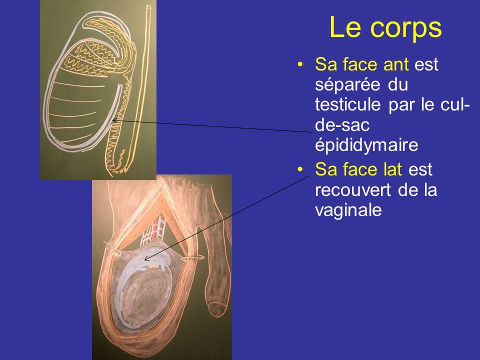 Le corps Sa face ant est séparée du testicule par le cul-de-sac épididymaire.