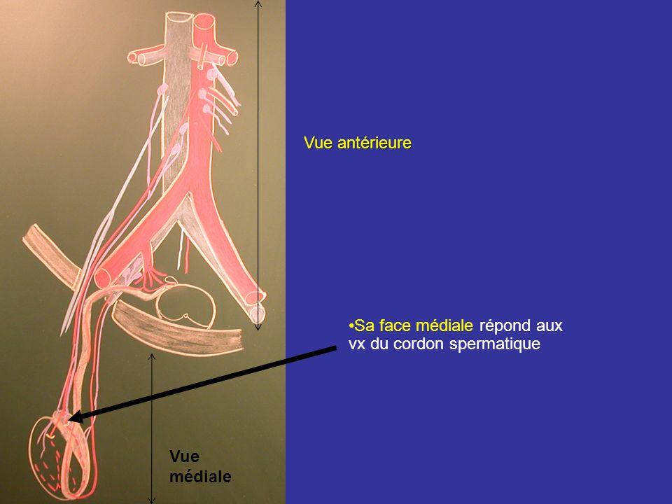 Vue antérieure Sa face médiale répond aux vx du cordon spermatique Vue médiale