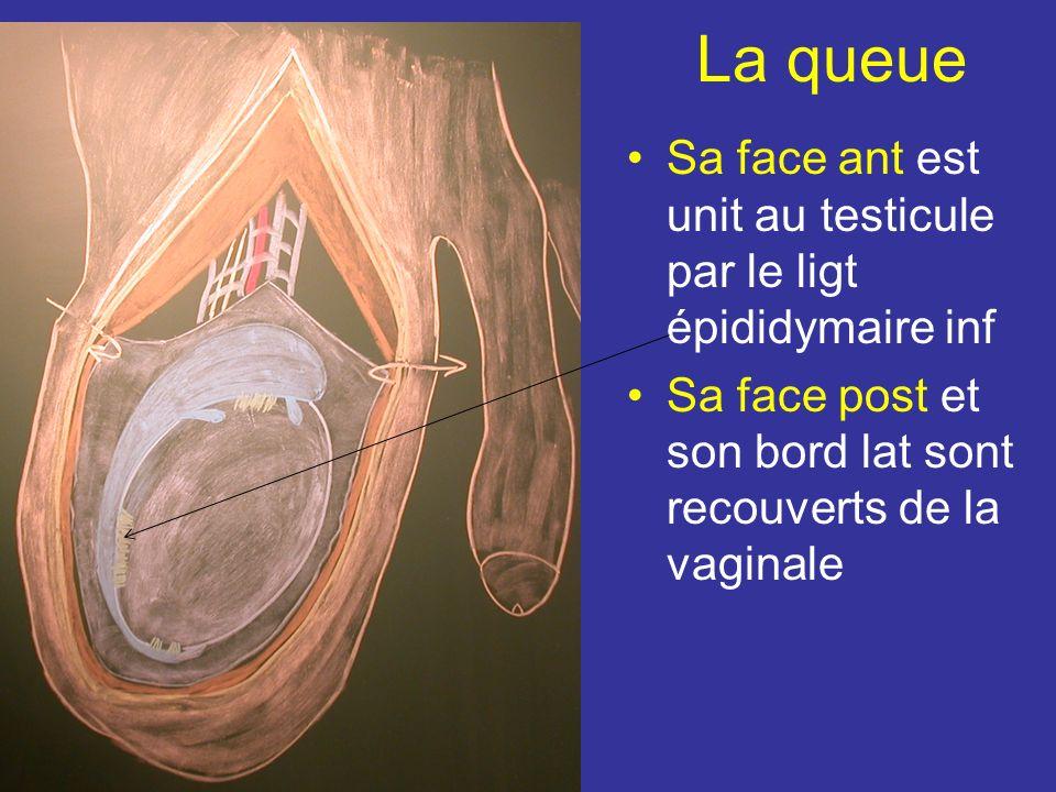 La queue Sa face ant est unit au testicule par le ligt épididymaire inf.