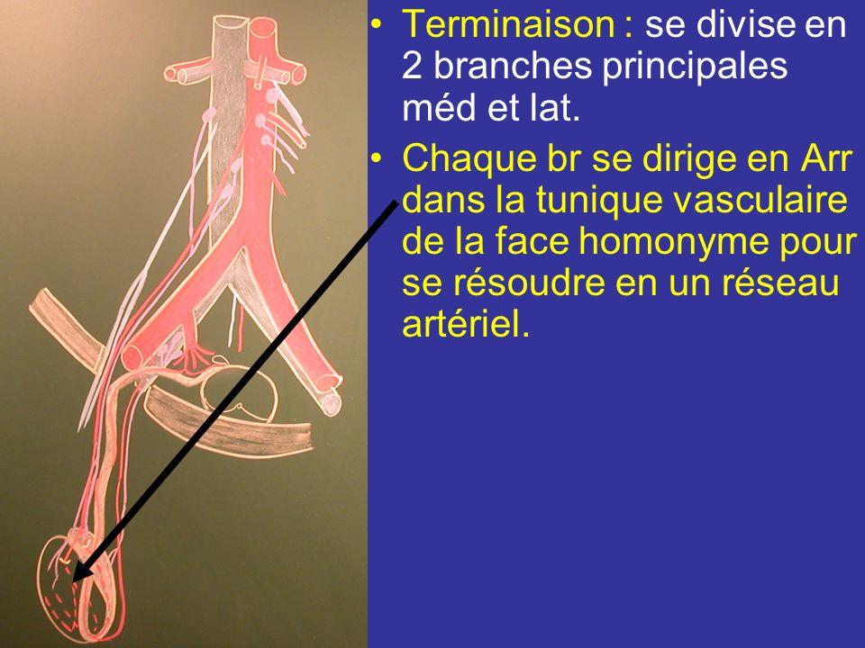 Terminaison : se divise en 2 branches principales méd et lat.
